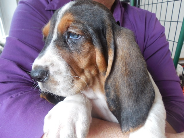Basset Hound Puppies For Sale